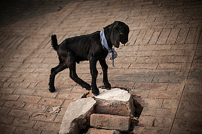 Little black goat with scarf - p1007m1144389 by Tilby Vattard