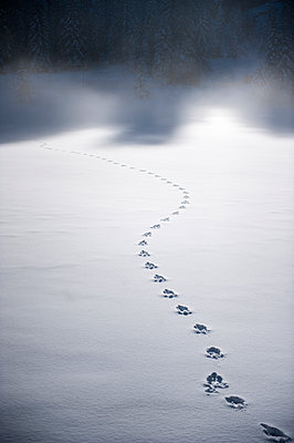 Tracks of wild animal in the snow - p300m1206361 by Hans Huber