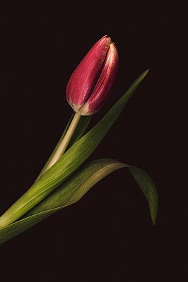 Tulip - p971m1109163 by Reilika Landen