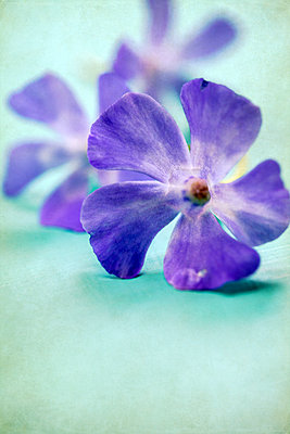 Little Lilac Flower Head  - p1248m2109281 by miguel sobreira