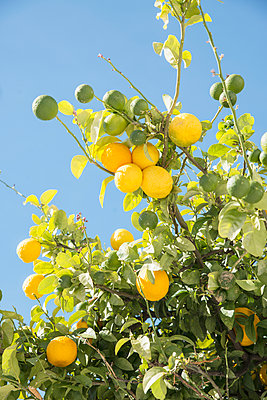Lemons on tree - p312m1063098f by Helen Karlsson