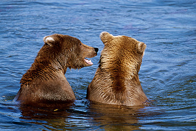 Grizzly Bear pair of young males fight and interact - p884m863039 by Yva Momatiuk & John Eastcott