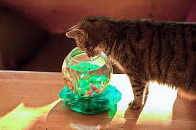 Katze beobachtet einen Plastikfisch im Wasserglas - p1418m1572176 von Jan Håkan Dahlström