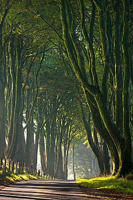 Majestic tree lined lane on a misty autumn morning - p871m674419 by Adam Burton