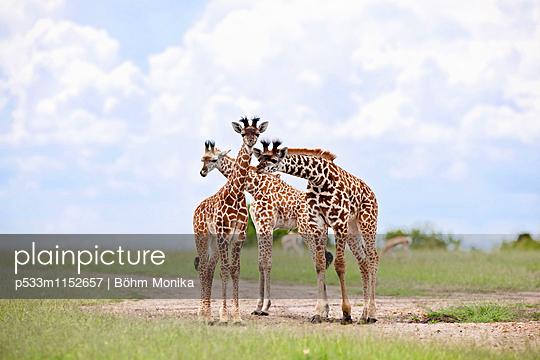 Giraffenkälber - p533m1152657 von Böhm Monika