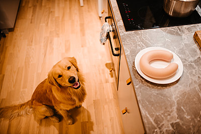 Dog in kitchen looking at sausage on worktop - p312m2249312 by Anna Johnsson
