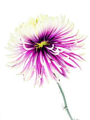 Chrysanthemum flower - p401m2272879 by Frank Baquet