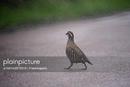 Bird on street - p1041m2073315 by Franckaparis