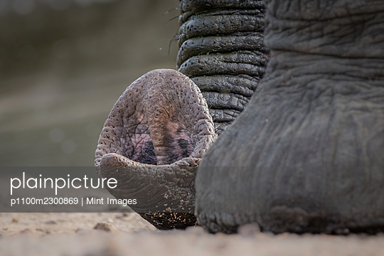 The end of an elephant's trunk, Loxodonta africana, resting on the floor - p1100m2300869 by Mint Images