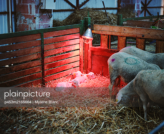 Infrared warming lamp in the stable - p453m2165664 by Mylène Blanc