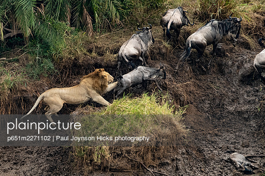Male lion attacking young wildebeest, banks of the Mara River, Serengeti National Park, Tanzania, Africa. - p651m2271102 by Paul Joynson Hicks photography