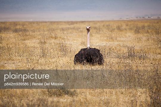 Ostrich on savannah - p842m939586 by Renée Del Missier