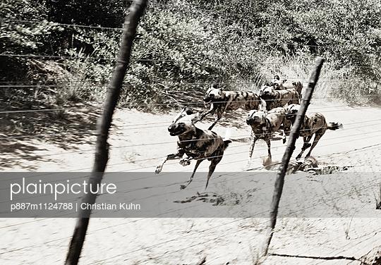 Wildhunde - p887m1124788 von Christian Kuhn