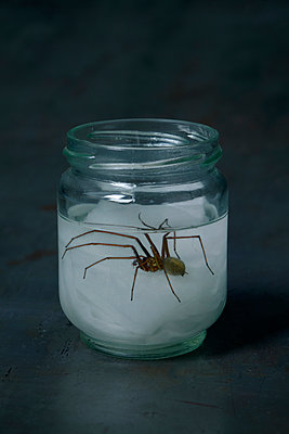 Giant house spider in a jar (Tegenaria atrica) - p1028m1492048 by Jean Marmeisse