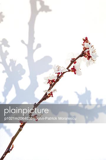 Aprikosenblüte - p1021m2064038 von MORA