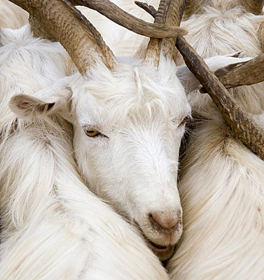 Goats, close-up - p4340340f by Susan & Neil Silverman
