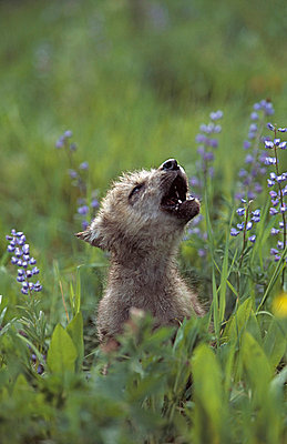 Wolf puppy howling in mountain meadow - p44210208f by Design Pics