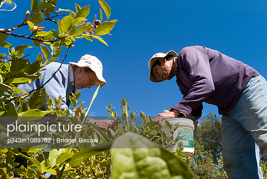 A couple harvests their organic blueberry crop. - p343m1089782 by Bridget Besaw
