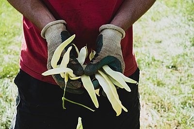 Close up of farmer holding freshly picked yellow runner beans. - p1100m2271479 by Mint Images