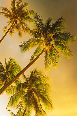 Towering palm trees in sunset light - p3484435 by Chad Ehlers