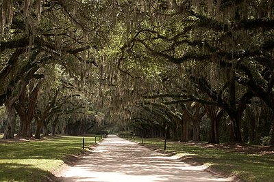 Rural Road Lined With Southern Live Oak Trees Covered With Spanish Moss, Charleston, South Carolina, USA  - p694m663653 by Maria K