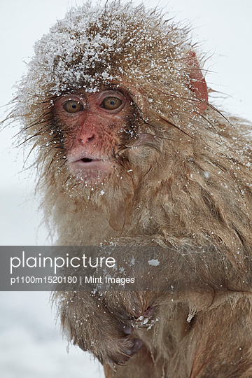 Japanese Macaque, Macaca fuscata, in the winter snow. - p1100m1520180 by Mint Images