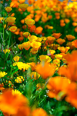 Poppies, close-up - p427m2206364 by Ralf Mohr