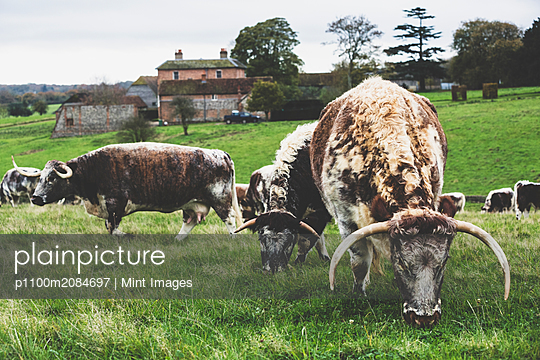Herd of English Longhorn cows grazing on a pasture. - p1100m2084697 by Mint Images