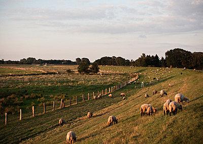 Grasende Schafe - p341m938443 von Mikesch