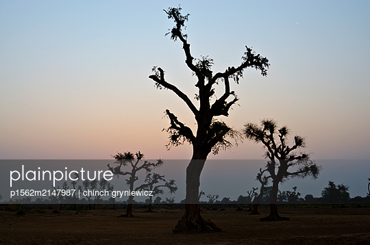 Silhouetted Trees at Dawn - p1562m2147987 by chinch gryniewicz