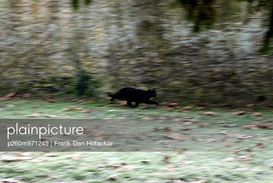 Kleine Katze auf der Flucht - p260m971249 von Frank Dan Hofacker