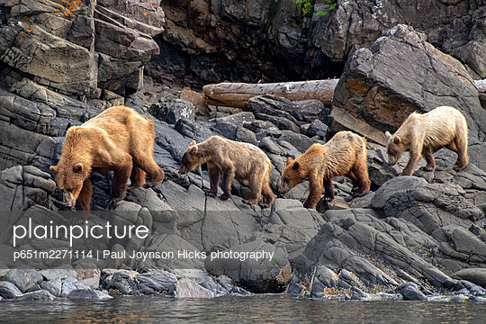 Female coastal brown bear and cubs, Katmai National Park, Alaska, USA - p651m2271114 by Paul Joynson Hicks photography