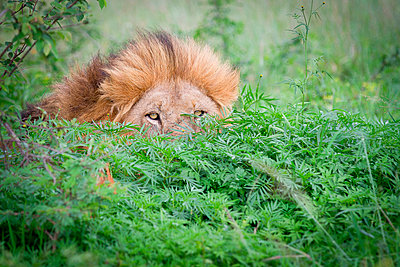 A male lion, Panthera leo, peeks up from behind a bush, yellow eyes and mane visible - p1100m2061195 by Londolozi Images