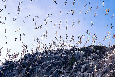 UK, Scotland, East Lothian, Bass Rock with a colony of Northern Gannets - p300m1205144 by Scott Masterton