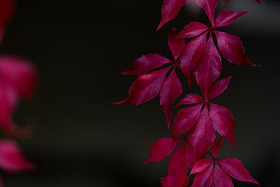 Herbstblätter - p874m2027841 von Lisa Franz