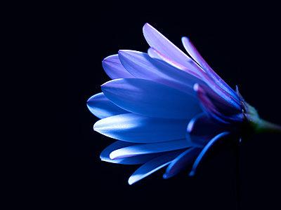Petals bathed in blue light - p885m2173739 by Oliver Brenneisen