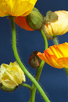 Close-up of poppies - p4730176f by Stock4B