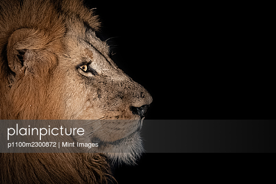 The side profile of a male lion, Panthera leo, in the dark - p1100m2300872 by Mint Images