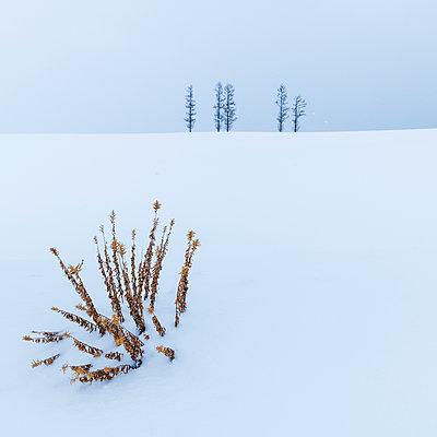 Trees in the snow at Mild Seven hills, Biei, Hokkaido, Japan - p1166m2108026 by Cavan Images