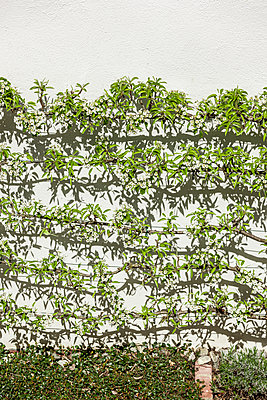 Espalier - p248m1138725 by BY