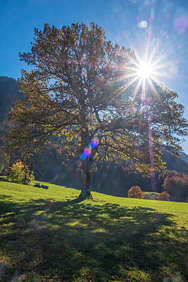 Germany, Upper Bavaria, Chiemgau, tree in autumn against the sun - p300m2060106 by Hans Mitterer