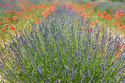 View of lavender and red poppy flowers - p300m797776f by Achim Sass