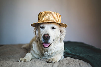Close-up of Retriever dog wearing straw boater hat while lying on bed at home - p426m2046392 by Maskot