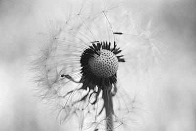 Pusteblume - p9791197 von Hath photography