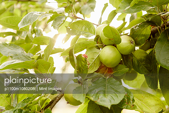 Fruit, green apples on the branches of a tree in an orchard.