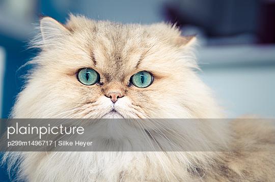 Portrait of Persian cat - p299m1496717 by Silke Heyer