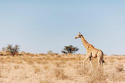 Eine Giraffe in der Savanne, Kalahari, Südafrika - p1065m982613 von KNSY Bande