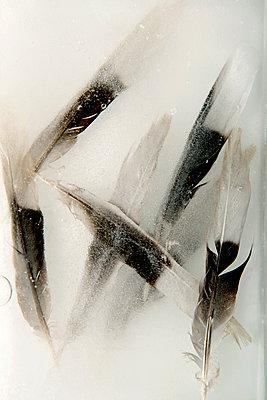 Vogelfedern im Eis - p451m1487799 von Anja Weber-Decker