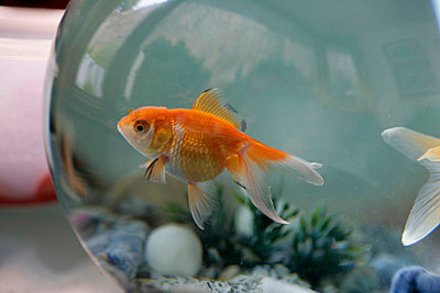 Goldfish in a Bowl - p6940904 by James Gritz