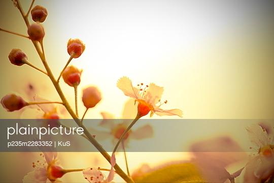 Die zarten Blüten der Traubenkirsche schimmern im Licht der aufgehenden Sonne - p235m2283352 von KuS